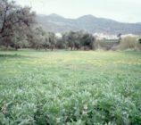 Órgiva 052 OLIVO DEL CAMINO DE ALCAZAR