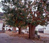 Alpujarra de la Sierra 051 ARBOLES DE LA IGLESIA DE YEGEN