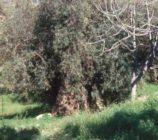 Turón 052 OLIVOS DEL CAMINO DEL CEMENTERIO