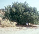 Ugijar 099 ALGARROBO DE LA RAMBLA SECA